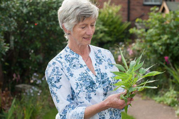 Abuela tenía una gran planta de marihuana en su jardín sin saber que era