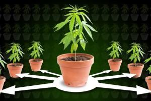 Cloning-cannabis-header