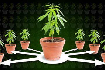 Cloning-cannabis-header