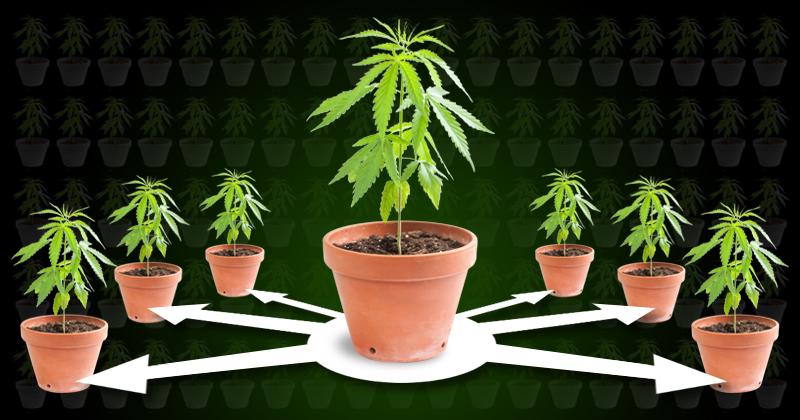 Como hacer esquejes de Marihuana