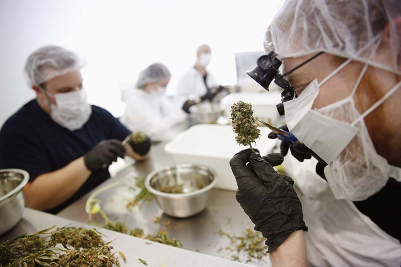 Director of Quality Assurance Thomas Shipley prunes dry marijuana buds before they are processed for shipping at Tweed Marijuana Inc in Smith's Falls