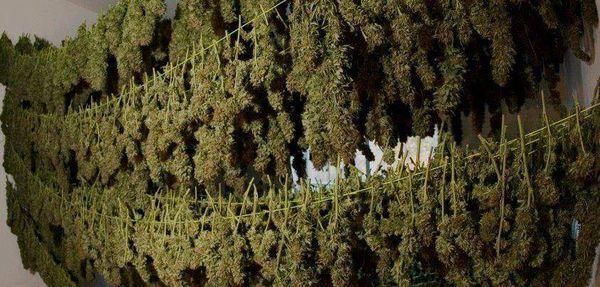 Marihuana para venderse en farmacias está pronta y espera habilitación del MSP