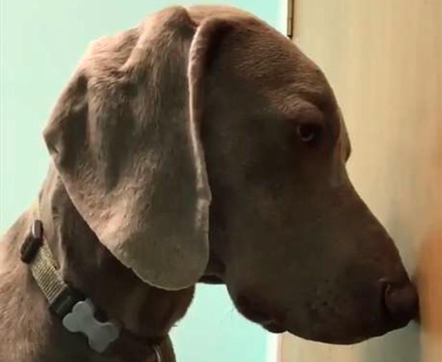 Video: Un perro se come un cigarrillo de marihuana y su dueña graba su reacción