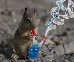 rat stoner