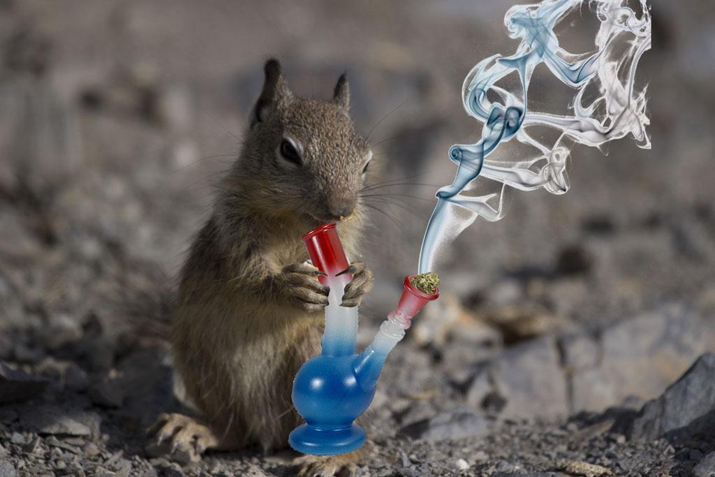 En Argentina ratas se comieron 540kg de marihuana incautada.